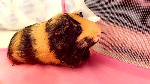 Bella the Guinea Pig