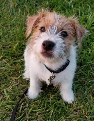 Clark the Jack Russell Terrier